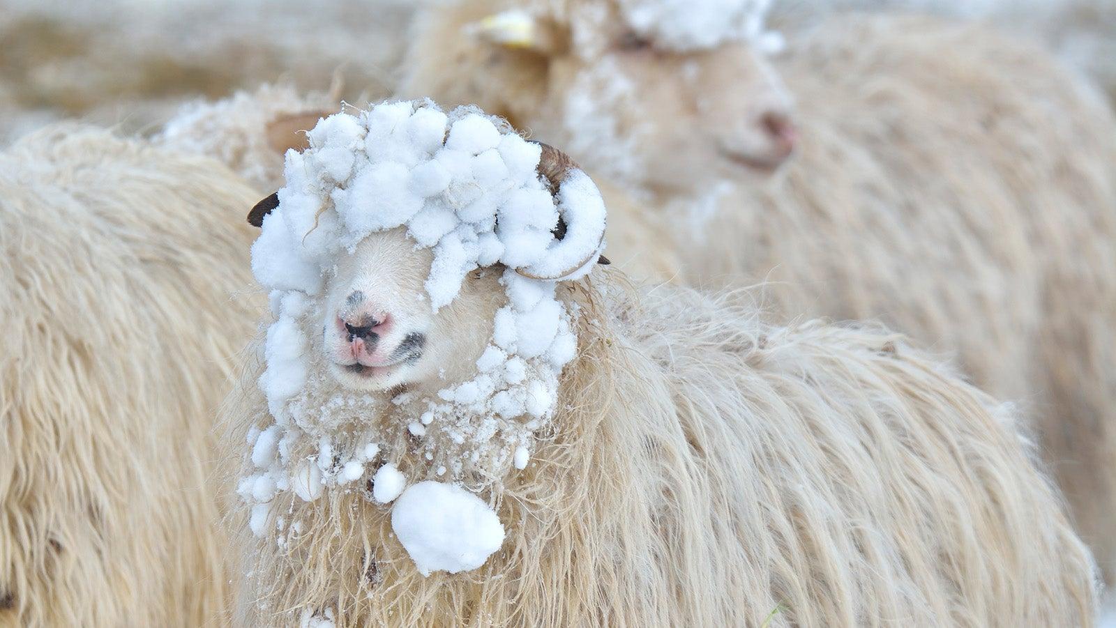 Schafskälte: Wie das Wetterphänomen entsteht