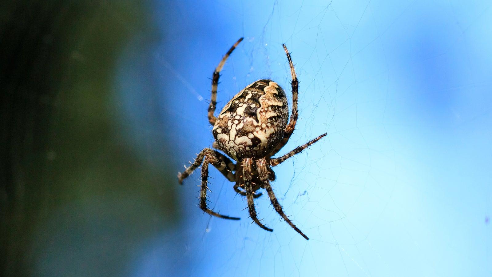 Von nützlich bis giftig: 6 heimische Spinnenarten in Deutschland