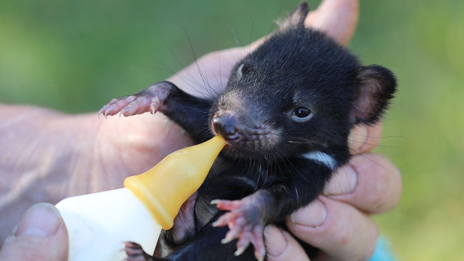 Auswilderung in Australien: Der Tasmanische Teufel ist zurück | The Weather Channel - Artikel von The Weather Channel | weather.com