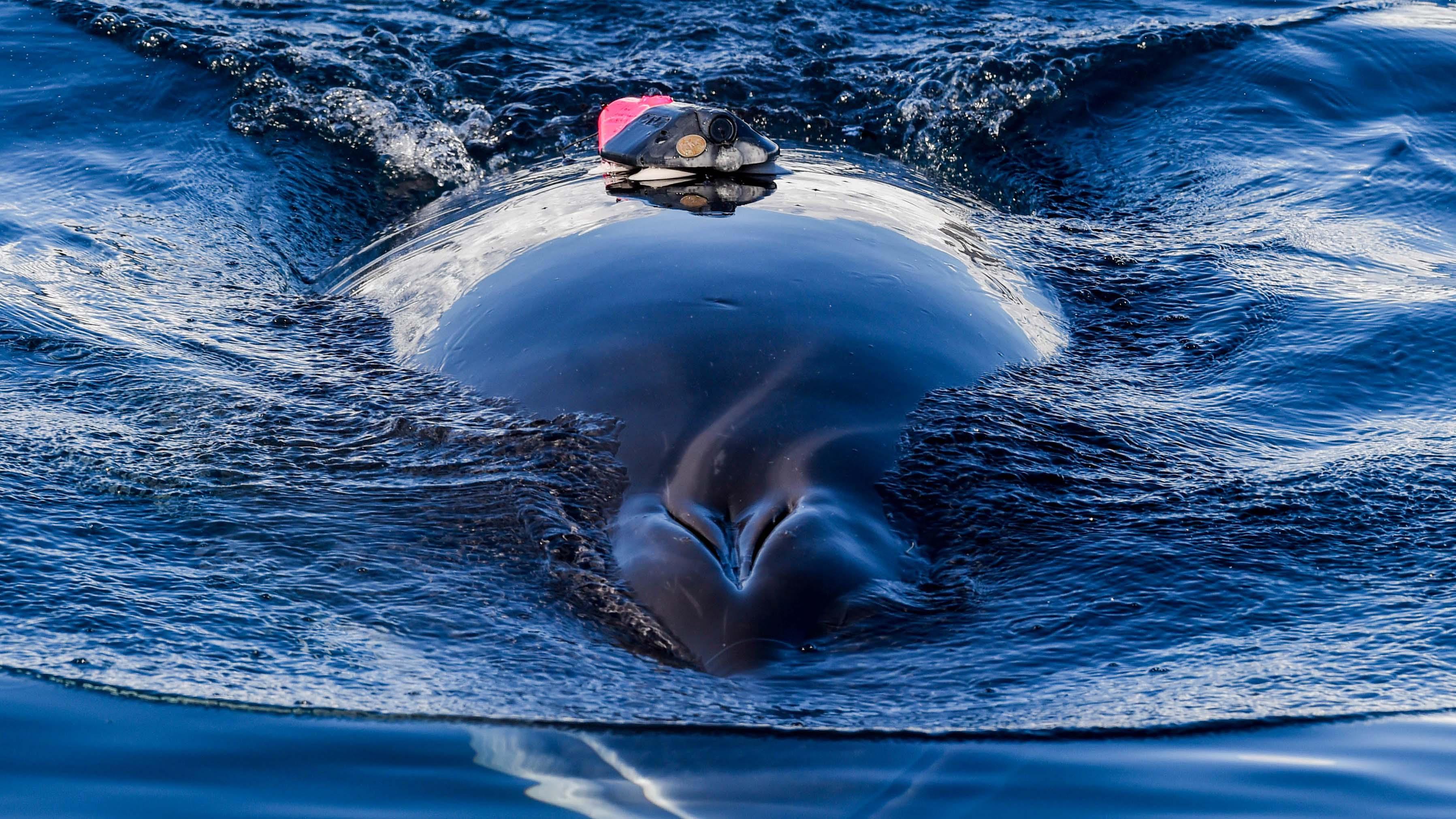 wie schwer ist der blauwal