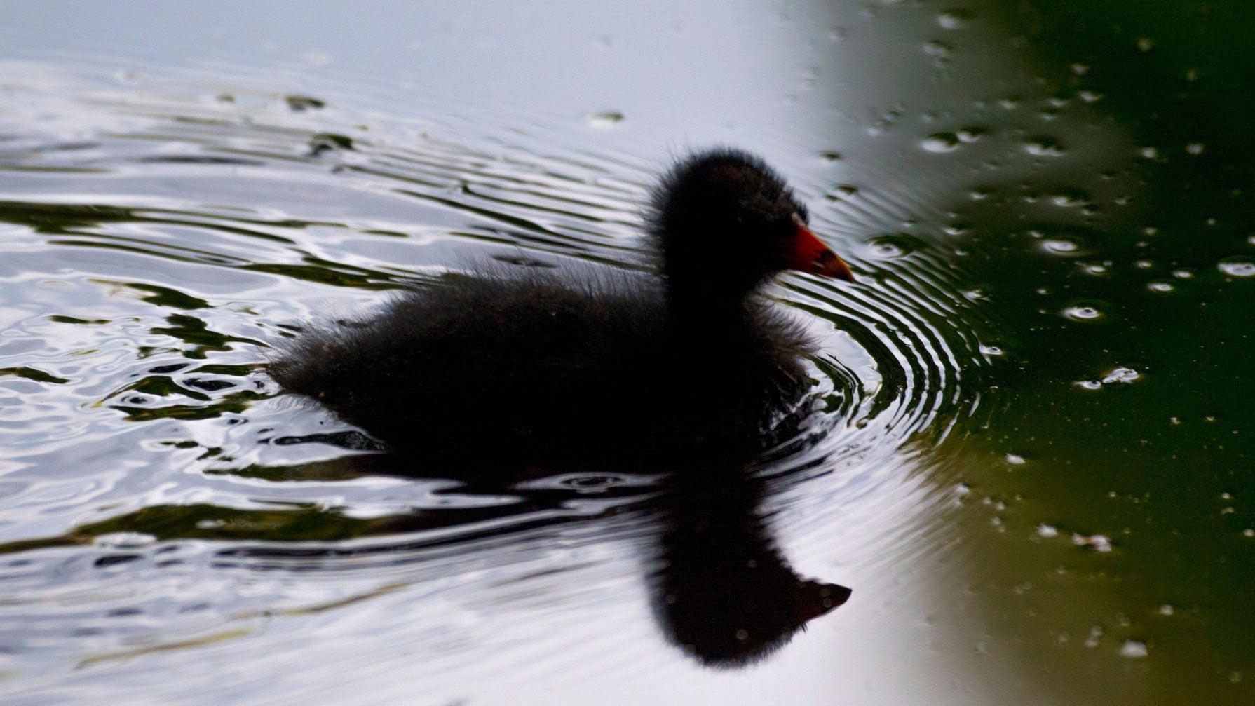 Gefräßiger Wels räubert Teich leer: Sind artgeschützte Entenküken noch zu retten?