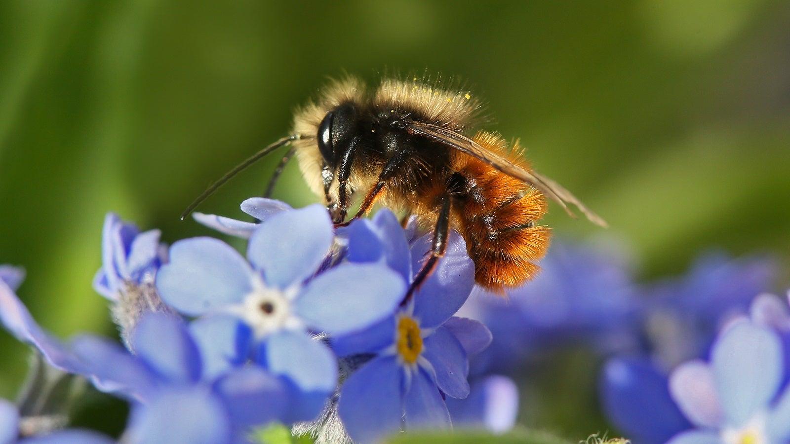 Biene ist nicht gleich Biene: ein Nutztier und 560 bedrohte Verwandte   The Weather Channel - Artikel von The Weather Channel   weather.com