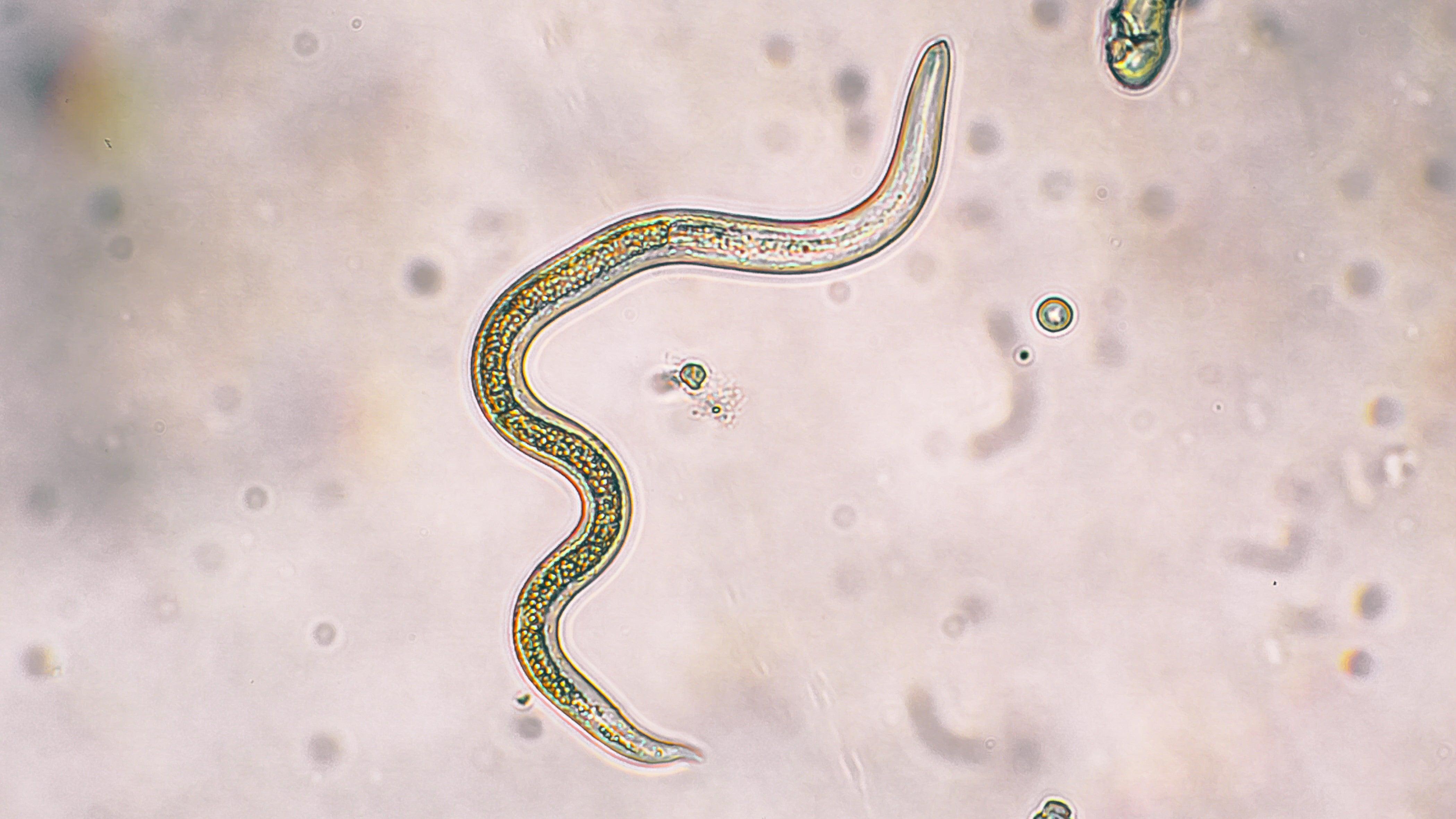 Wurm Parasit