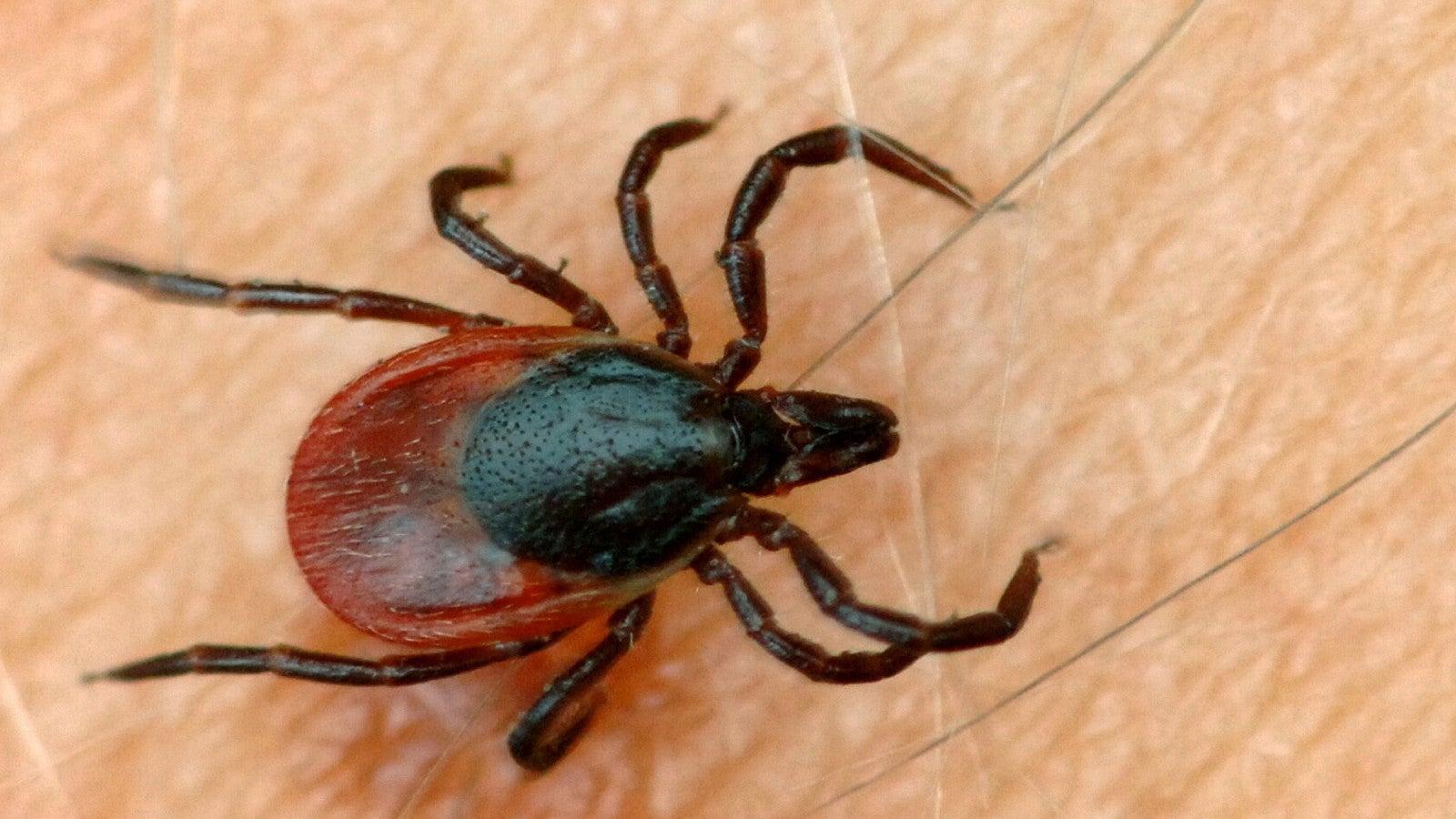 """""""Höchste Zahl an Zecken in den letzten zehnJahren"""": Das Infektionsrisiko steigt"""