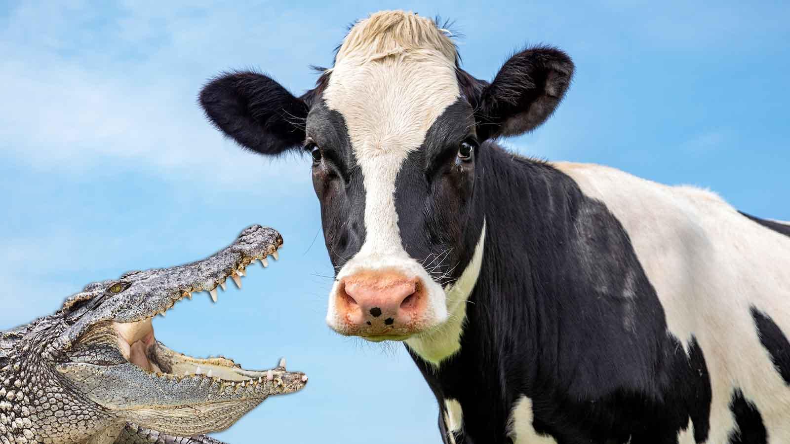 Kuh und Alligator behindern den Berufsverkehr - unabhängig voneinander | The Weather Channel - Artikel von The Weather Channel | weather.com