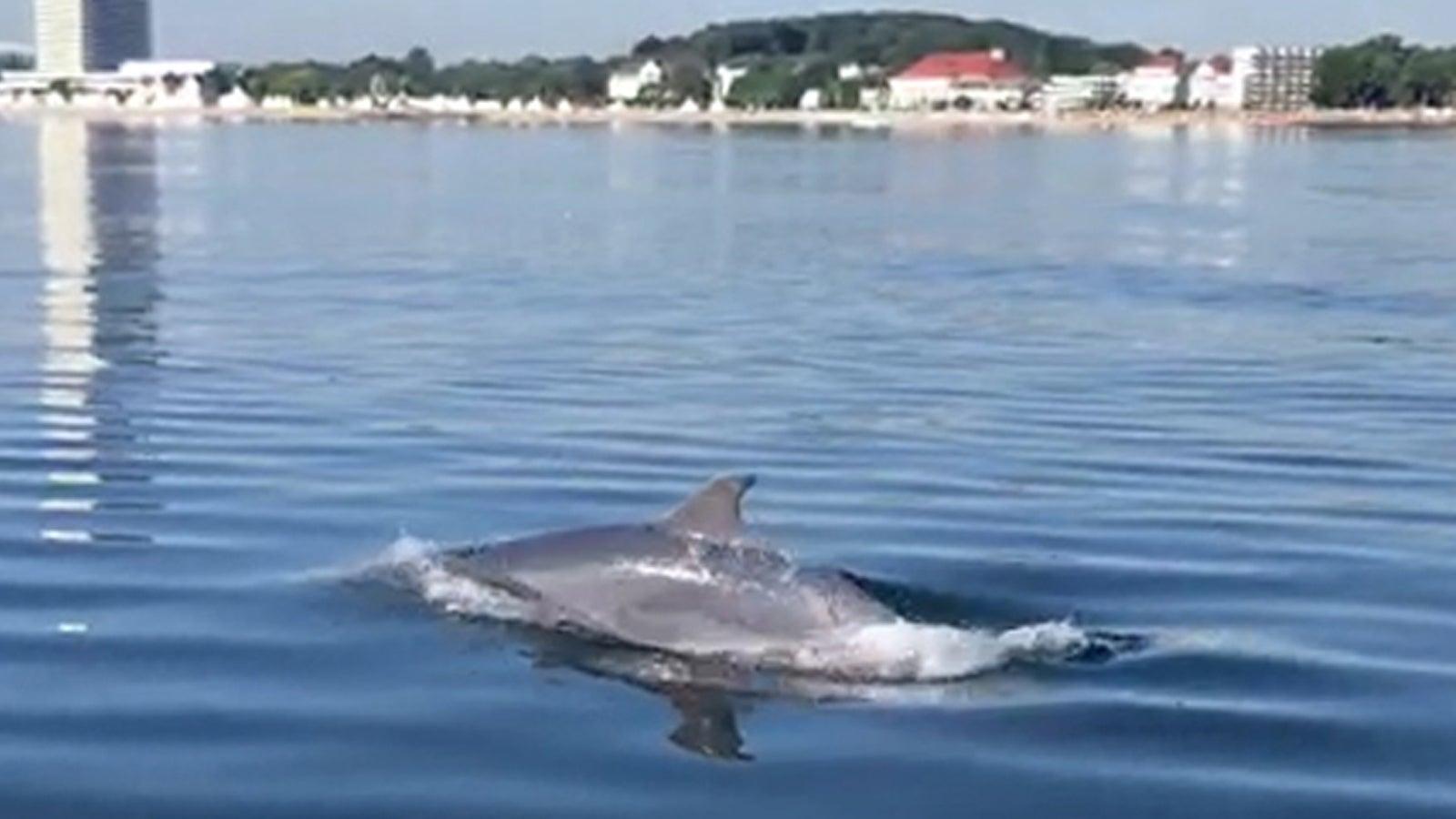 Sorgt für Begeisterung: Delfin in Lübecker Bucht gesichtet