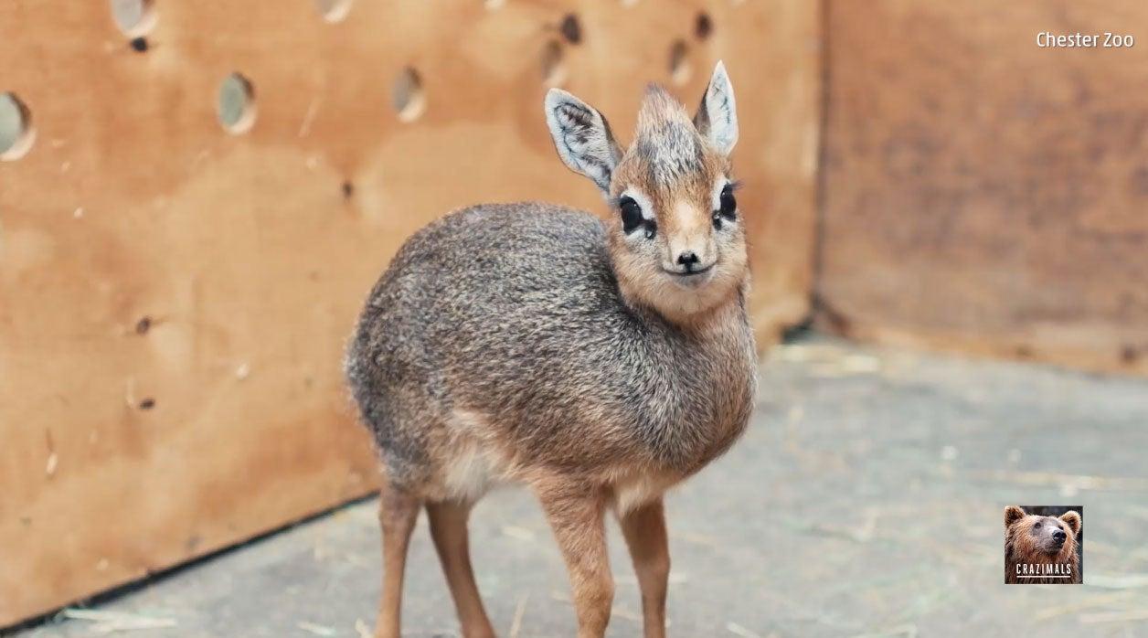 Zookeepers Protect Orphaned Dik-Dik