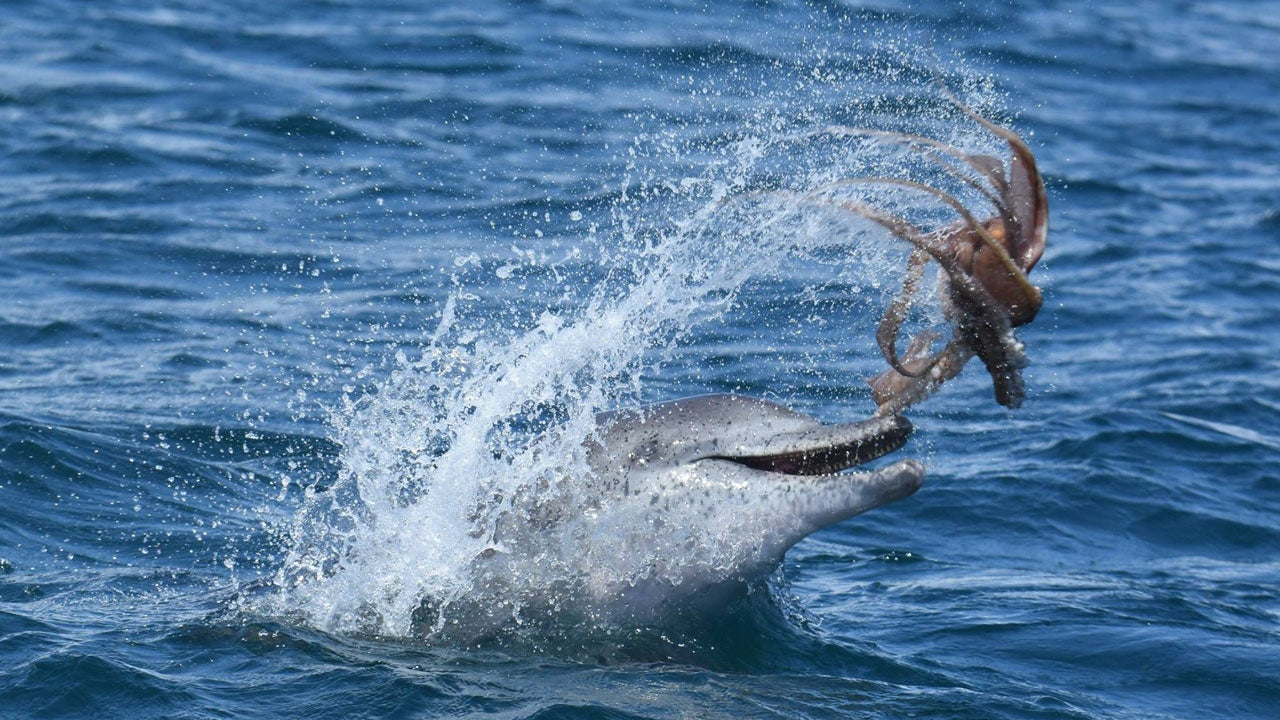 Dolphin's frolics with Octopus caught on camera