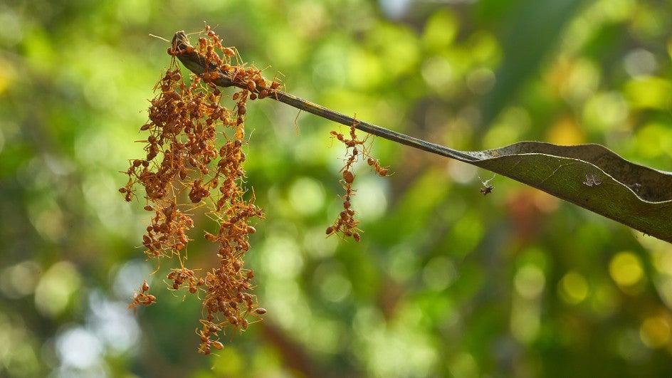 Después del huracán Florence muerden las hormigas de fuego