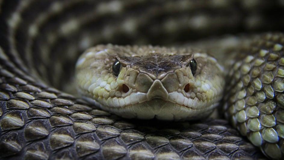 Las serpientes muerden menos con sequía