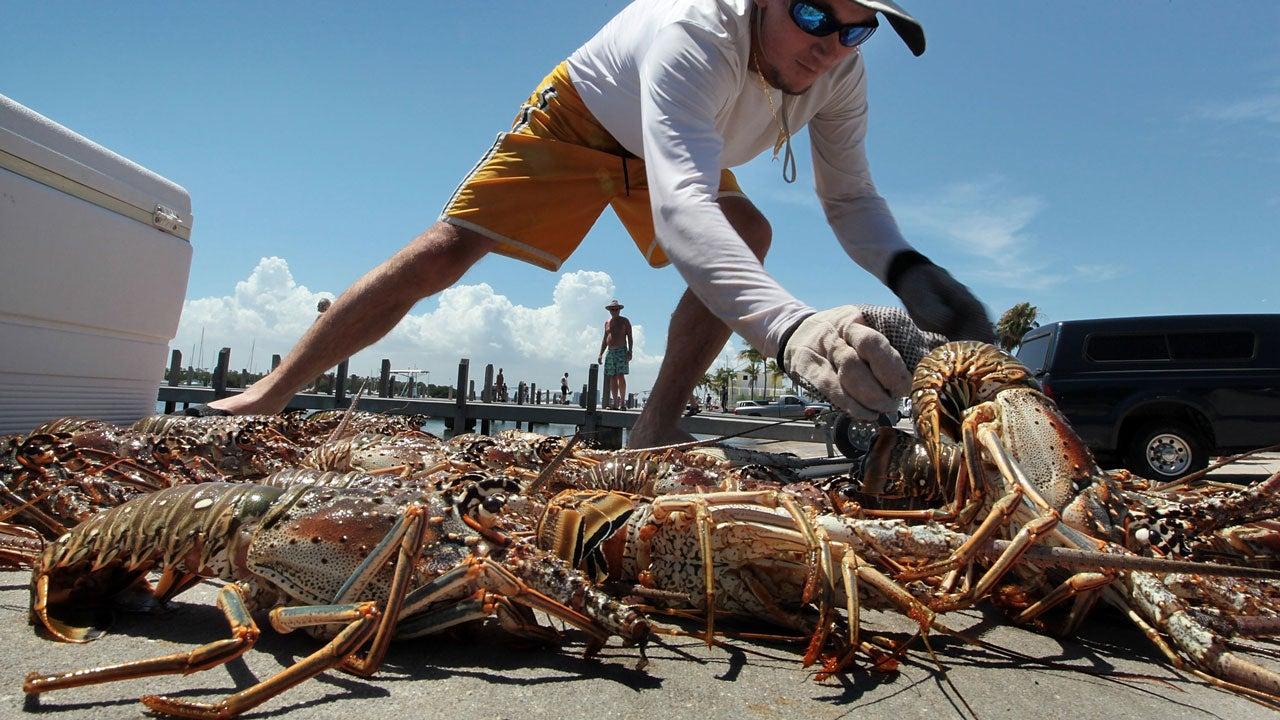 florida keys lobster industry crippled in hurricane irma u0026 39 s