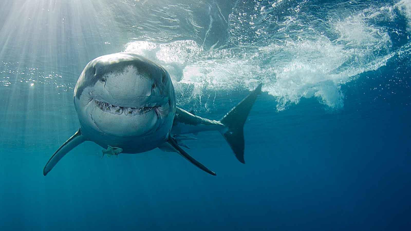 Der größte weiße hai