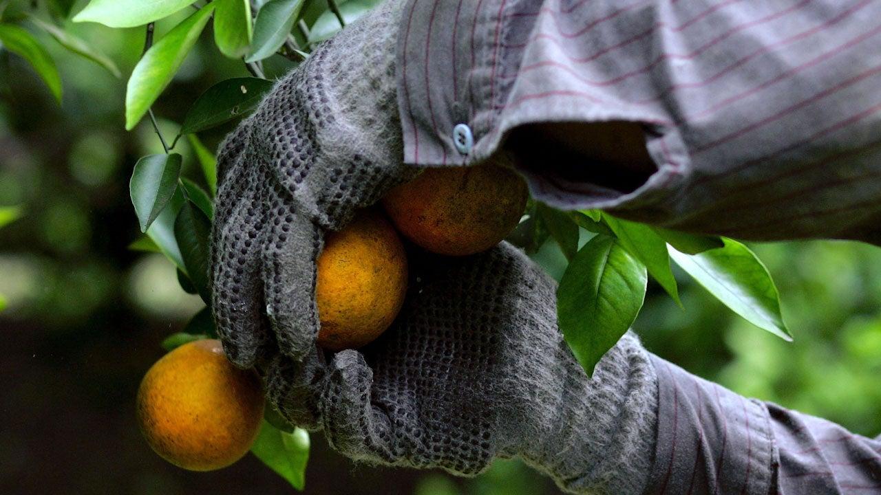 Florida's Citrus Industry Having Worst Harvest in 73 Years