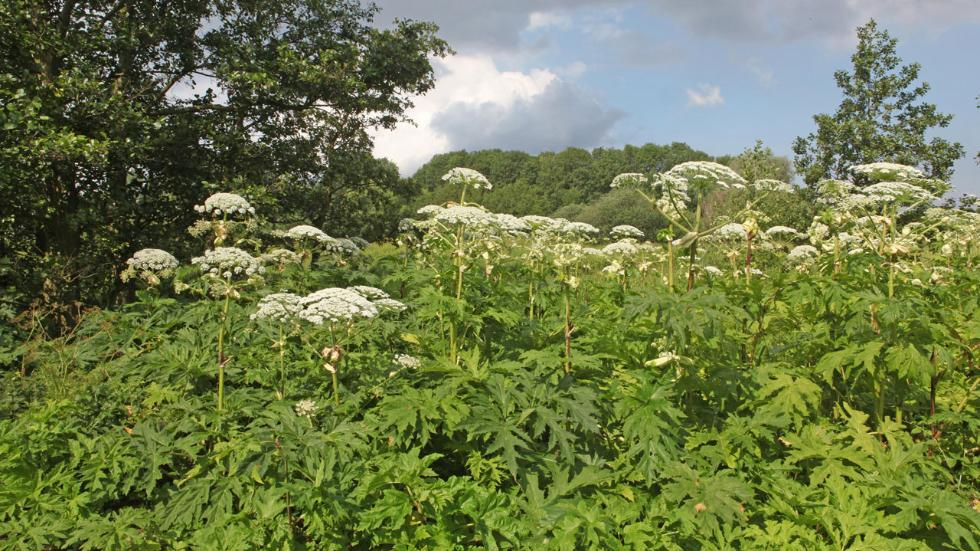 Giant Hogweed Michigan Map.Toxic Giant Hogweed Found In Michigan The Weather Channel