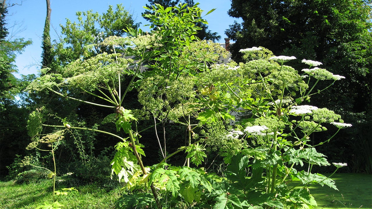Do Not Touch This Plant: Officials Warn of Burn, Blindness Threat from Giant Hogweed After New Sightings
