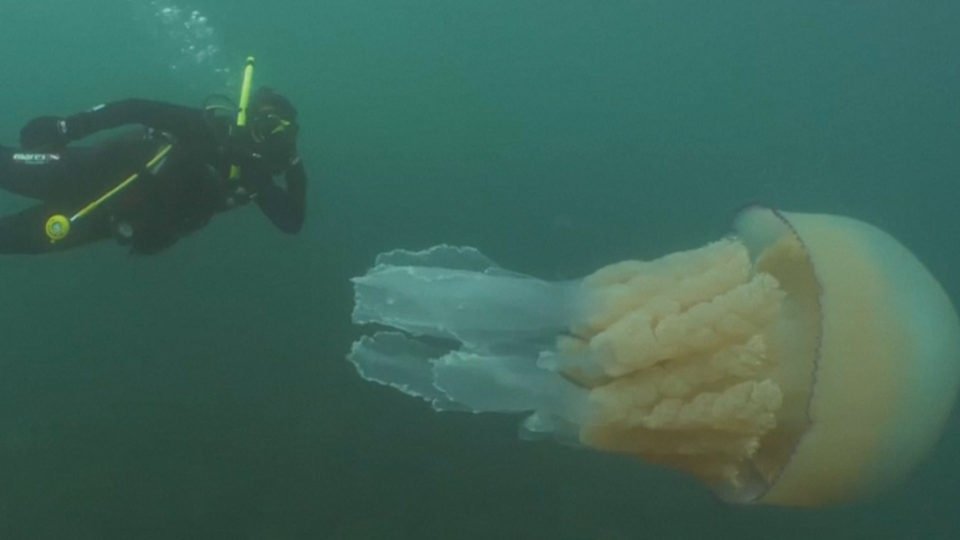 Barrel jellyfish are the largest in the waters off the U.K. But this one takes the cake!