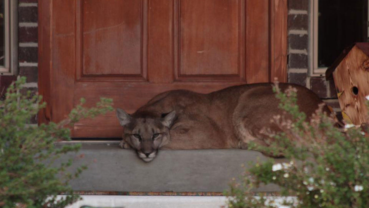 Utah Couple Finds Sleeping Mountain Lion Right Outside Their Front Door | The Weather Channel