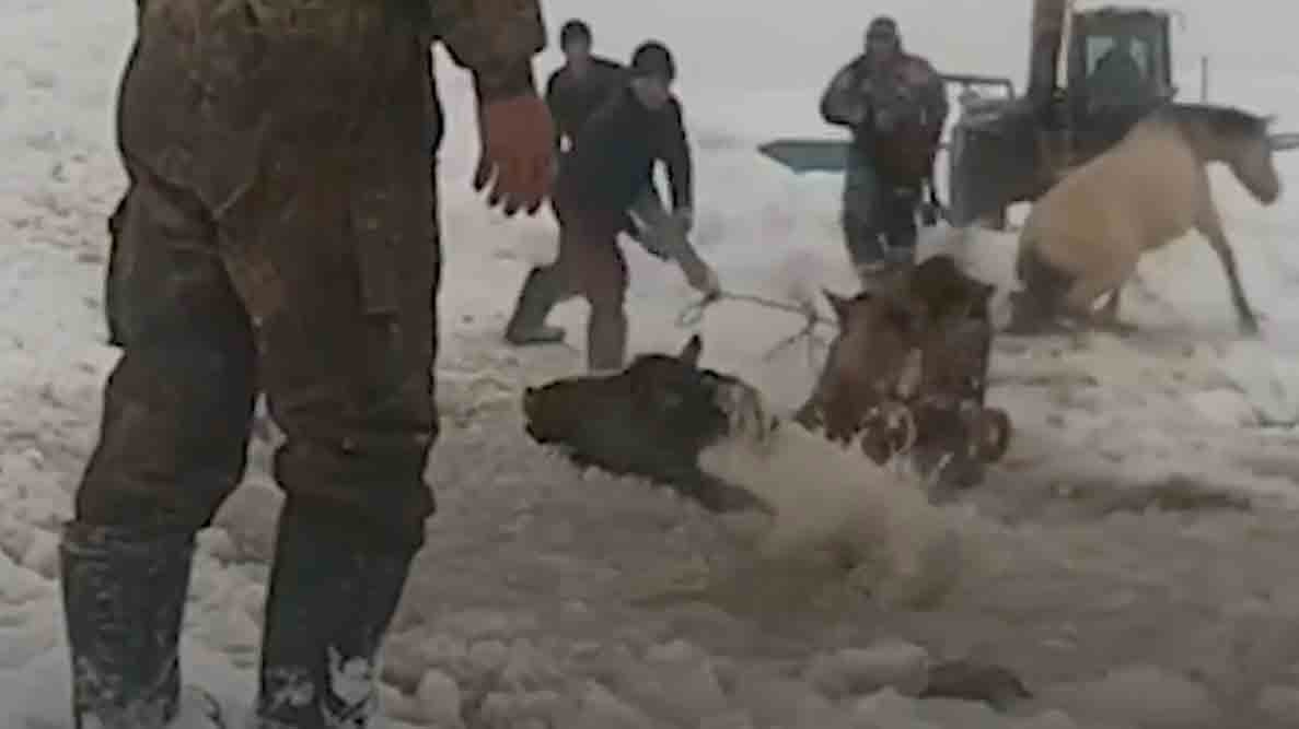 Horses Rescued from Icy Pond in Russia
