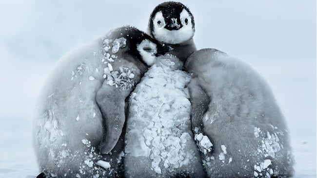 How do baby penguins get through antarctic blizzards with