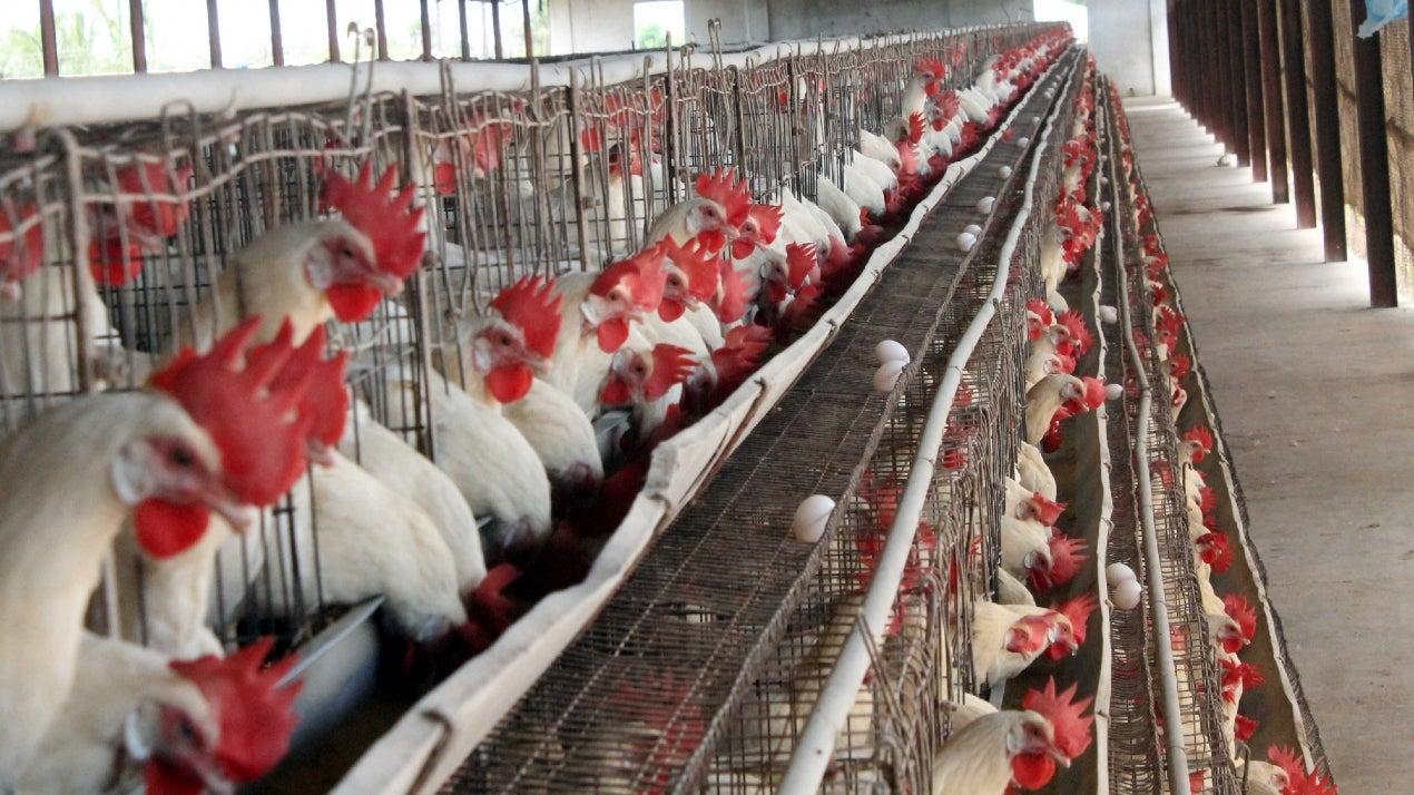Punjab safe from bird flu