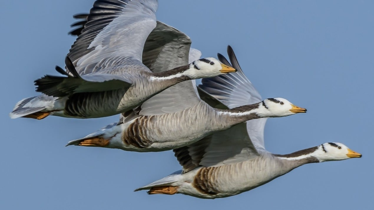 World Migratory Birds Day: Here's How Birds Use Earth's Magnetic Field to Navigate Long Distances