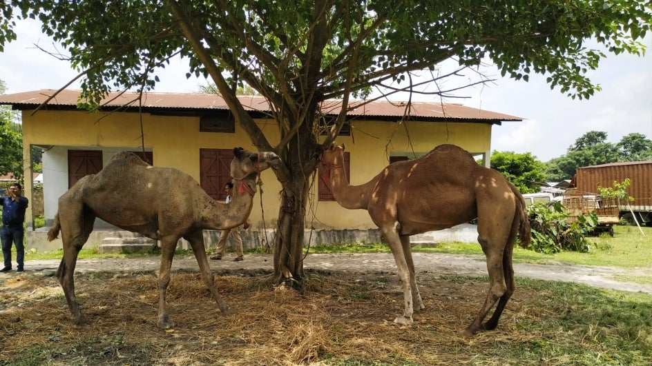 Camels in Police Station Keep Assam Cops on Toes
