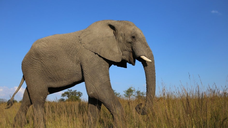 Global Wildlife Trade Conference Moves to Protect African Elephants, Giraffes