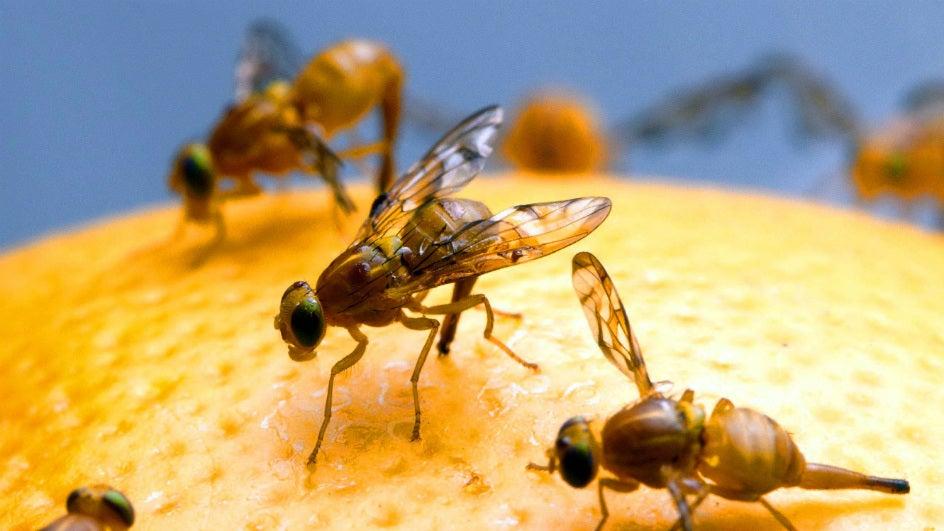 Hormone Traps Help Goa Farmers Beat Pests