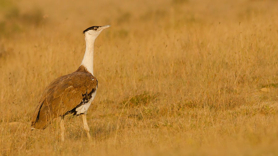 Only 150 Great Indian Bustards Left In India