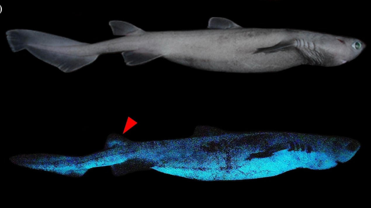 Shimmering Sharks: Scientists Discover Three Deep Sea Shark Species that Eerily Glow in the Dark