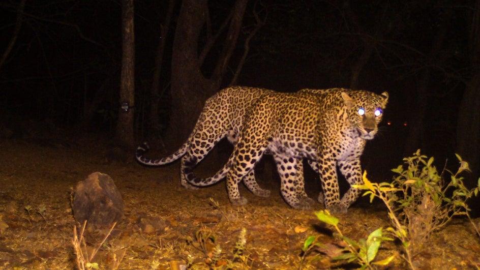 Stealthy Shopper: Leopard Sneaks into Mall near Mumbai