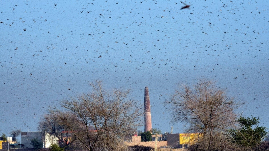 Government to Use Planes, Drones to Fight Locust Swarms in Rajasthan