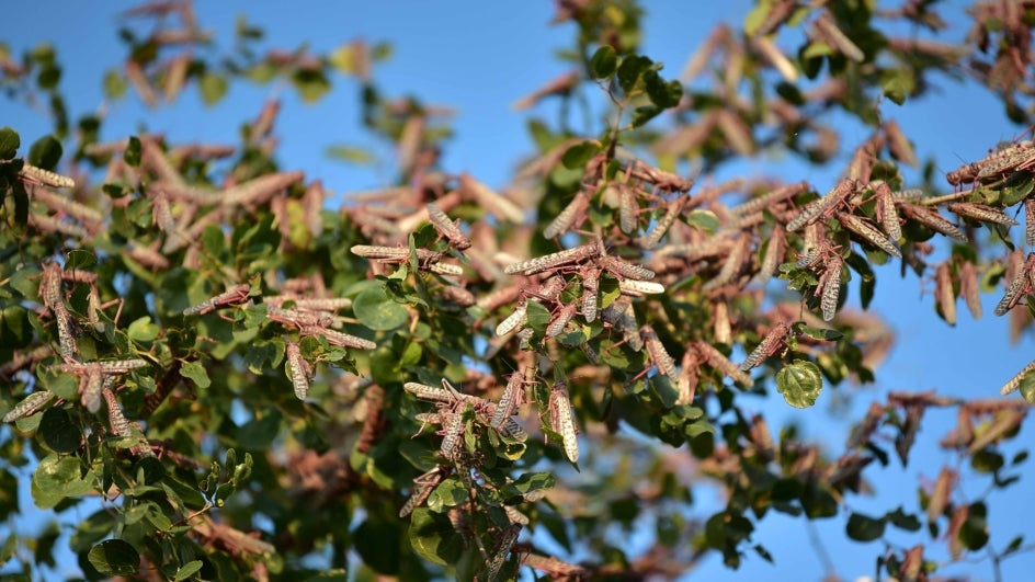 Usually, locusts arrive in India during the monsoon months, between July and October. But this year, the first sighting was reported as early as April 11.