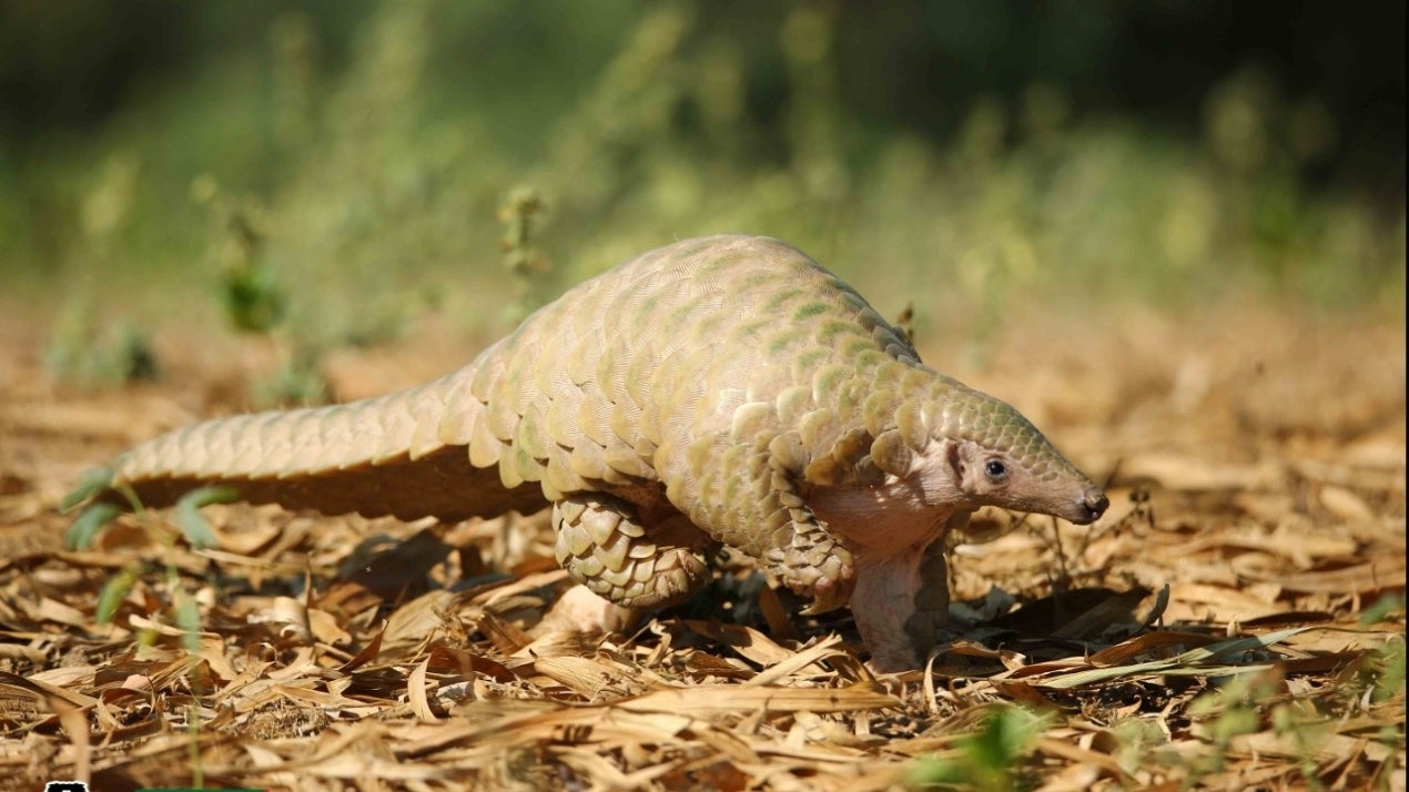 Rare Indian Pangolin Rescued by Wildlife SOS Near Agra