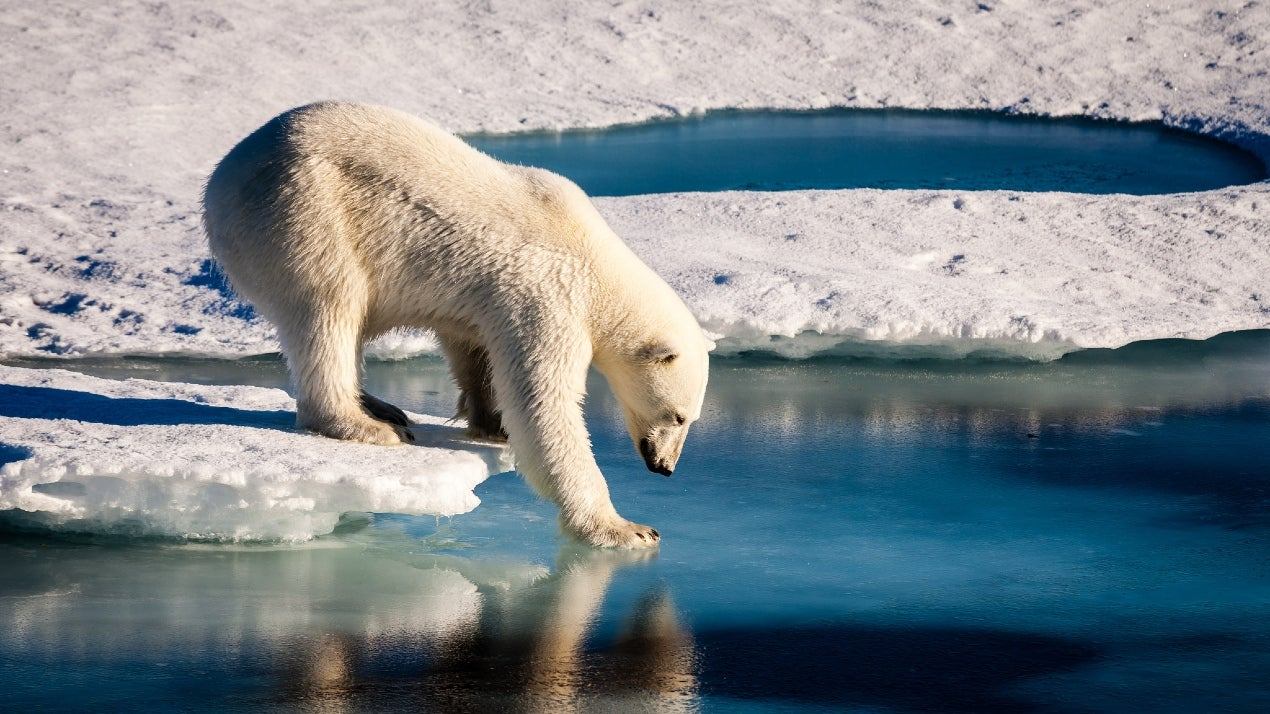 World Polar Bear Day: Six Fascinating Facts About The Giants of Arctic | The Weather Channel - Articles from The Weather Channel | weather.com