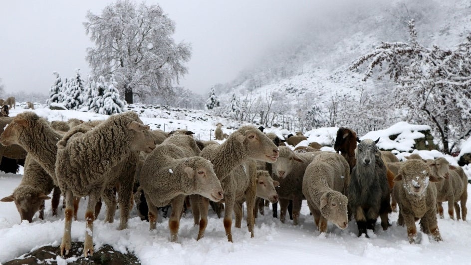 Himachal Pradesh Govt. to Genetically Engineer Goats & Sheep to Improve Wool Yield, Preserve Gene Pool