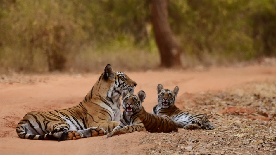 If Not Connected, 41 of 50 Reserves in India Could Lose Their Tiger Populations