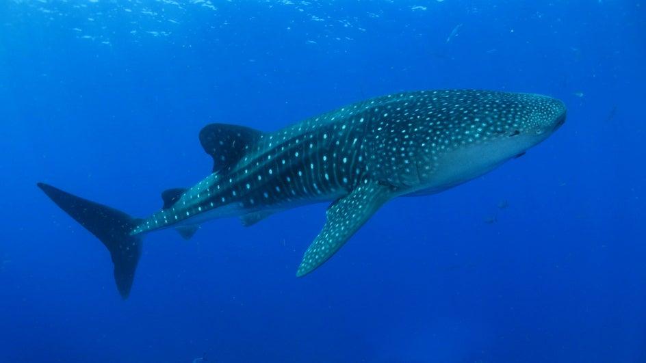 781 Whale Sharks Rescued, Freed Across Gujarat Coast Since 2004