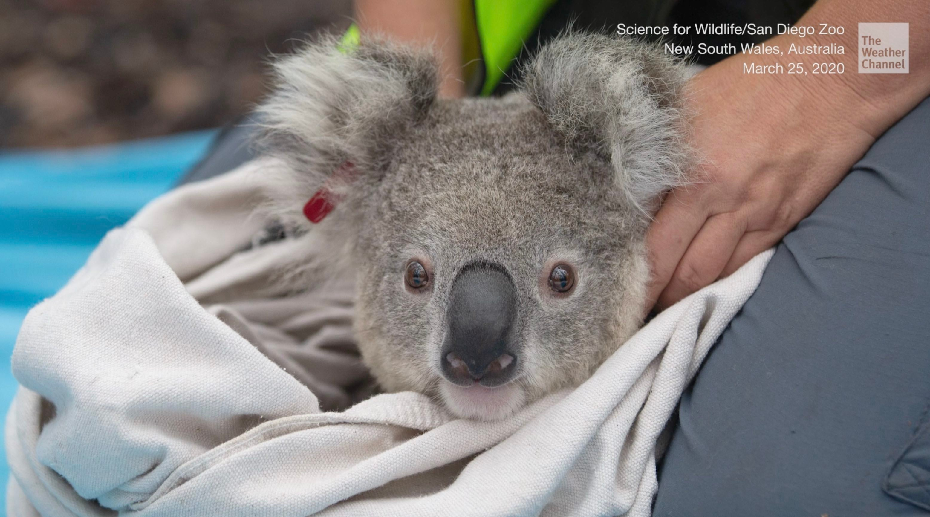 Some of the koalas rescued from Australia's bushfires have returned home to the eucalyptus forest at Kanangra-Boyd National Park in New South Wales.