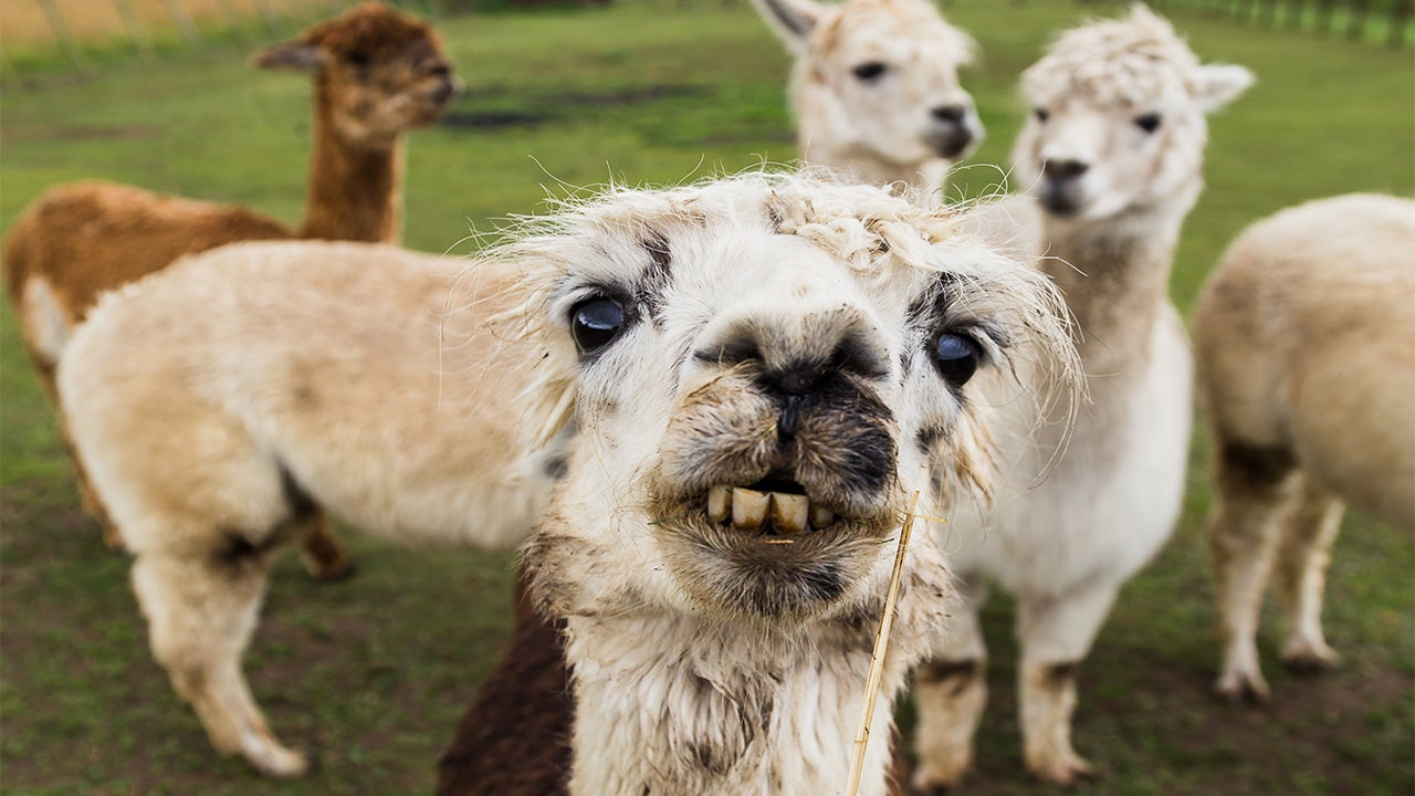 Flu Prevention 'Holy Grail' Could be Found in Llamas, Study Says