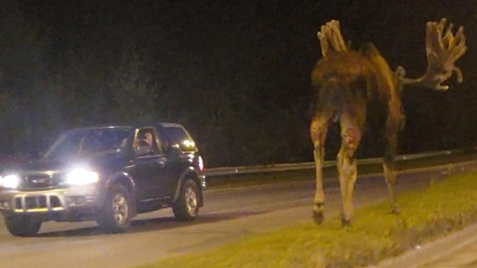 Huge Moose Spotted Walking on Median in Anchorage, Alaska