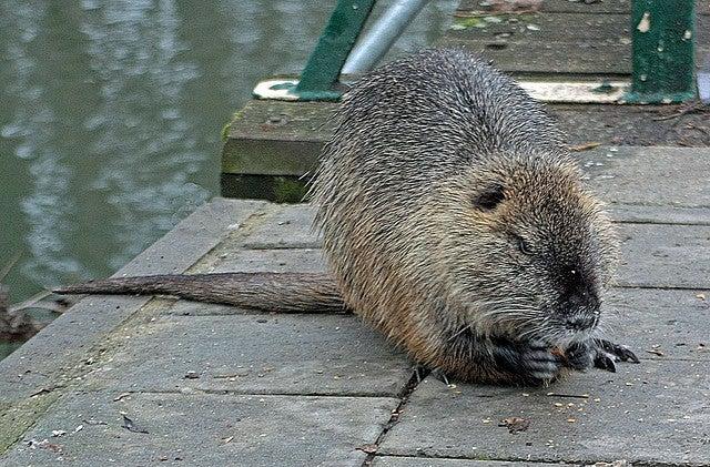 huge swamp rats are eating louisiana