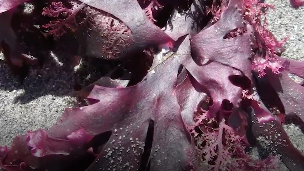 Feeding Cows Pink Algae May Help Fight Warming Climate