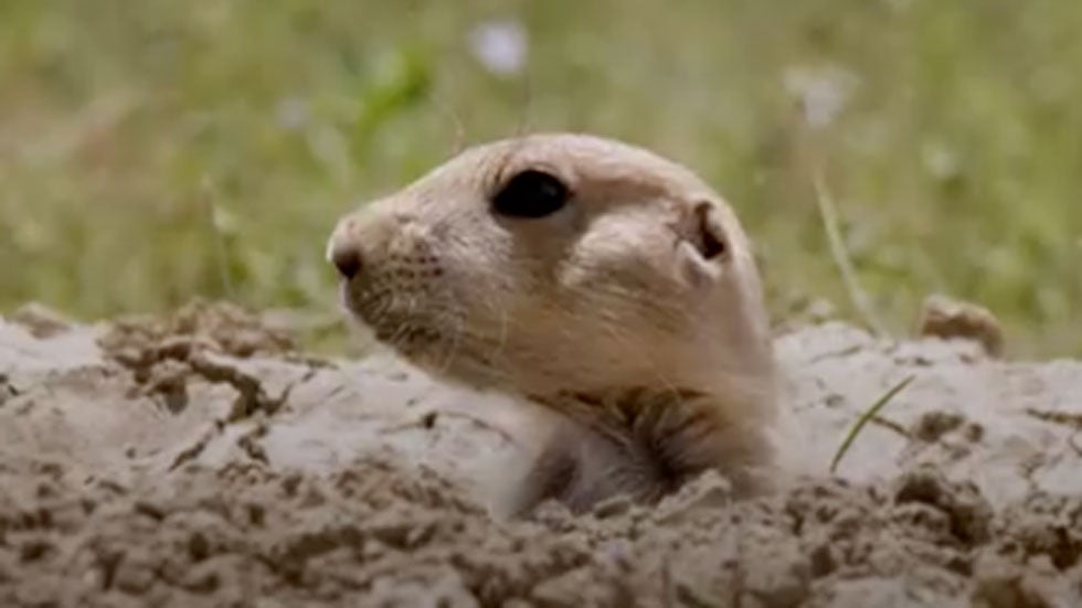 Plague-Infected Prairie Dogs Lead to Closures in Colorado