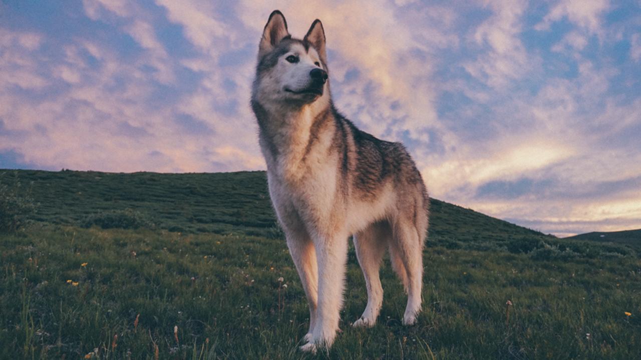 Explorar paisajes con un perro lobo (FOTOS)