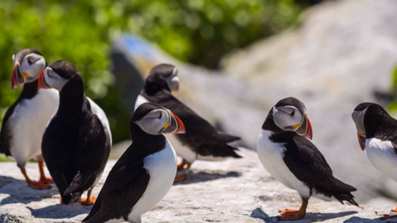 puffin chicks in gulf of maine starve to death during worst breeding season ever  researchers
