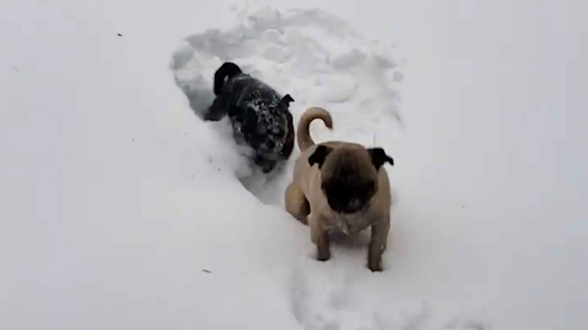 pugs excited about snow in new york  until they go outside