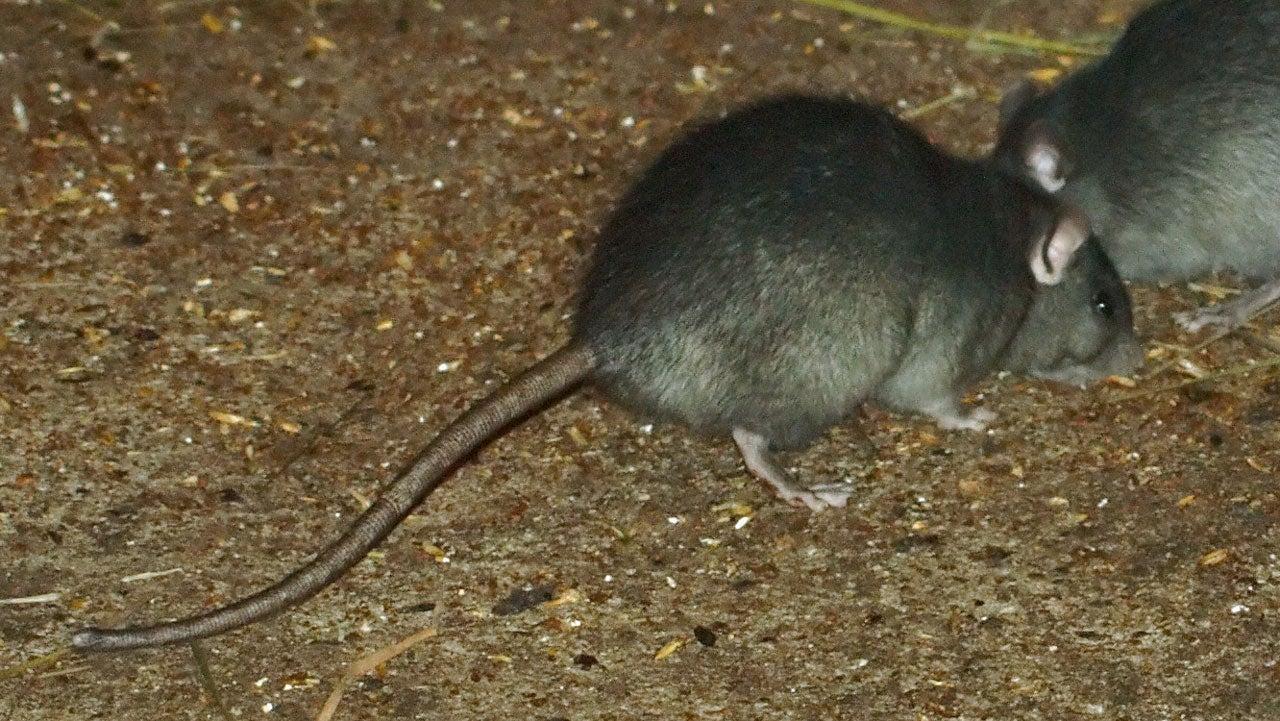 Rat Invasion Shuts Down Nearly a Dozen Islands Off Australia's Coast