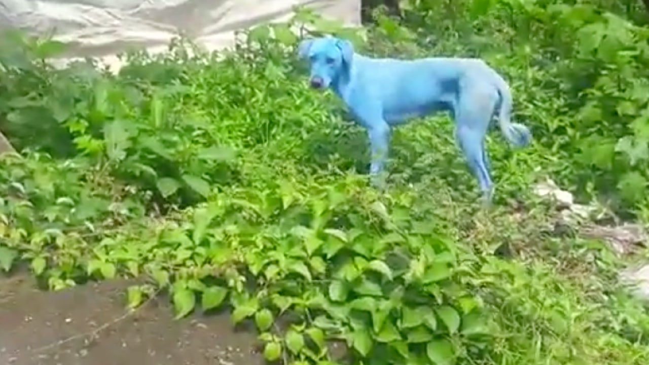 India\'s Stray Dogs Are Turning Blue Because of Pollution   The ...