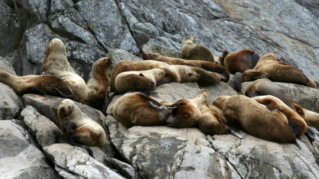 steller sea lions an alaskan endangered species should be saved Steller sea lion was listed as a species of special concern under sara in july  2005  (california to southeast alaska) and a western population (gulf of  alaska,  prior to the species being protected in the 1970s, the canadian  government.